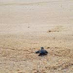 baby sea turtles mayto